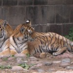 Mother tiger and cub at the Omaha zoo.