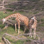 Two young giraffes at the Henry Doorly Zoo.