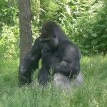 This silverback gorilla was deep in thoughts.