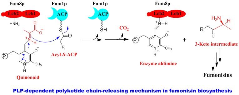 Fumonisin polyketide chain release mech