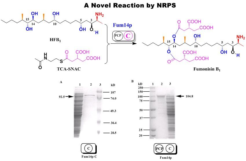 Pic Biochem 2006 Fum14 NRPS cat a new rxn