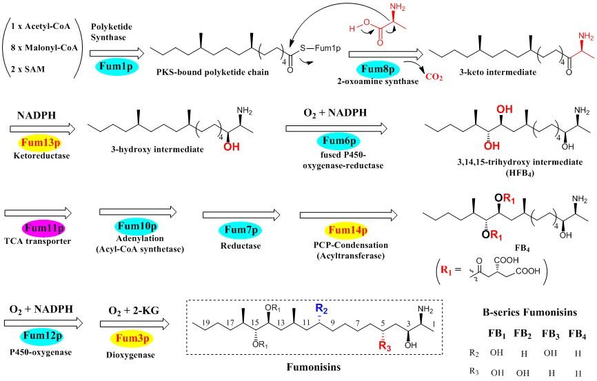 Pic JIMB fumonisin pathway 2008